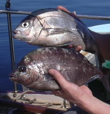 La pêche à la Dorade grise en baie de Morlaix ( partie 1: l'appât )
