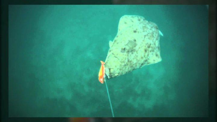 Halibut Attacking Underwater
