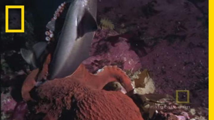 La pieuvre et le requin