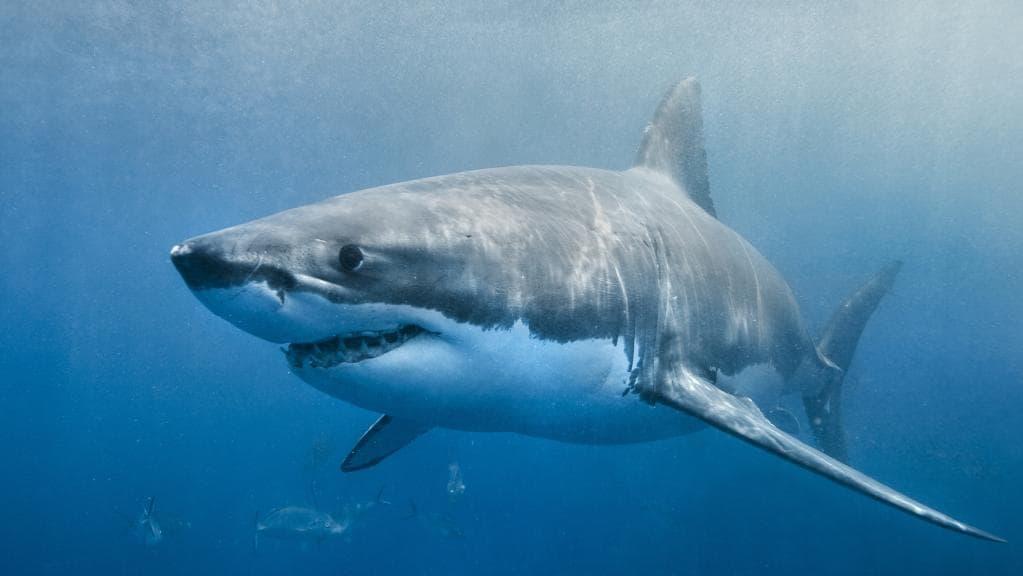 leurre requin blanc