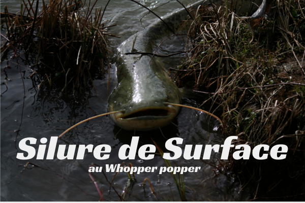 Silure de Surface