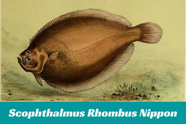 Scophthalmus Rhombus Nippon